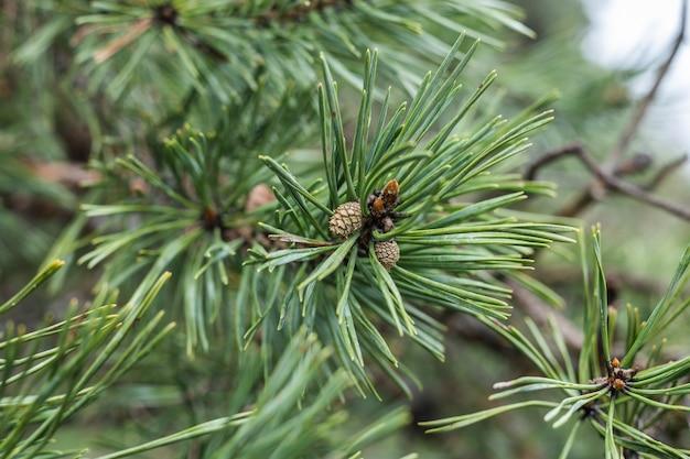 Sfondo di aghi di pino bianco fresco