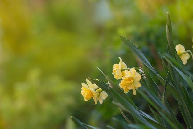 Narcisi gialli freschi in primavera. narciso che fiorisce in primavera.