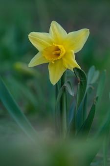 Narcisi gialli freschi in primavera