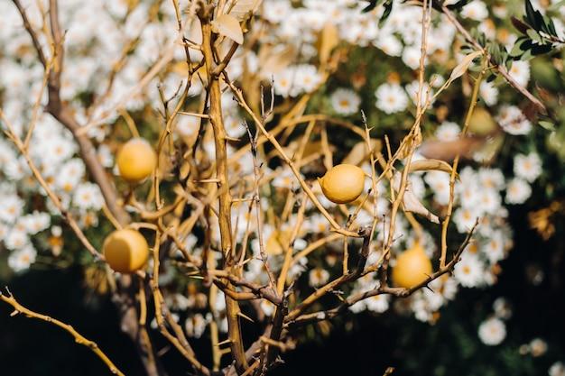 Limoni gialli freschi sui rami di un albero di limone in francia, limoni freschi di primavera crescono su un cespuglio.