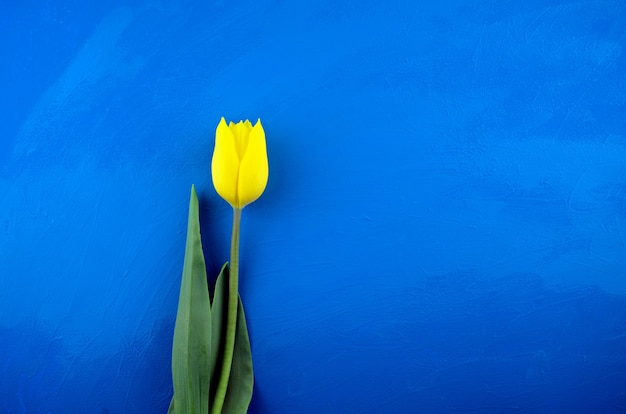 Il piatto di tulipano giallo fresco giaceva sul fondo di struttura acrilica astratta blu brillante di lerciume