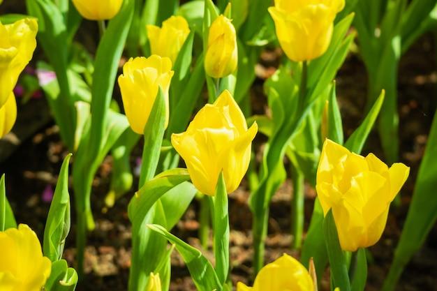 I tulipani gialli freschi fioriscono nel giardino