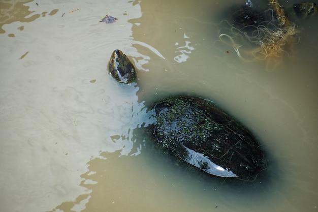 La tartaruga d'acqua dolce sta nuotando nel fiume.