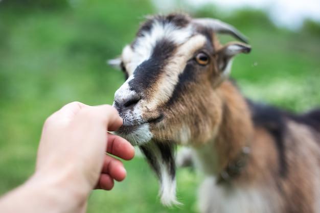 Capra amichevole in prato verde.