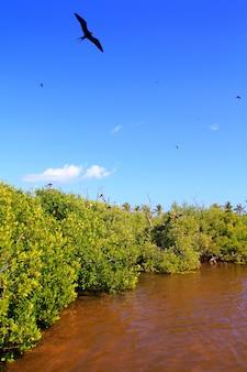 Riproduzione di uccelli fregata mangrovia contoy island