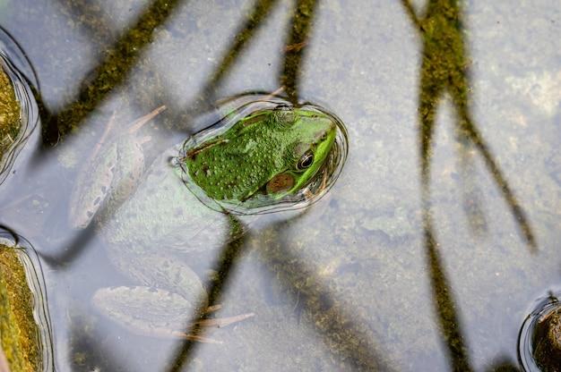 Rana seduta con la testa appena sopra l'acqua in uno stagno
