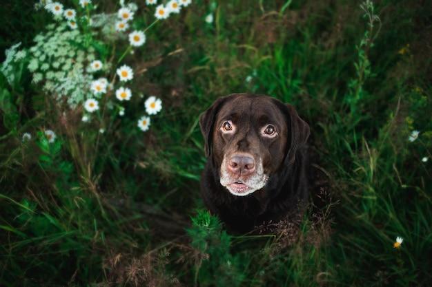 Dall'alto vista al labrador marrone scuro seduto sull'erba verde in un prato