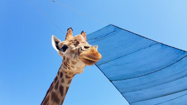 Davanti alla vista della giraffa contro il cielo blu