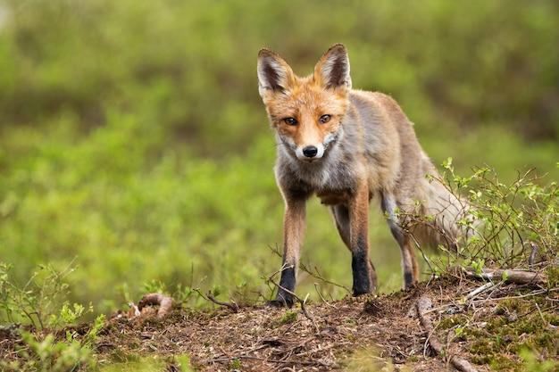 Vista frontale di angolo basso di una volpe rossa selvaggia in piedi su un orizzonte in montagna