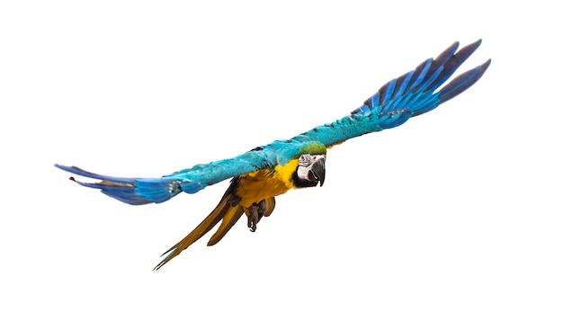 Vista frontale di un'ara blu e gialla, ara ararauna, volante, isolata