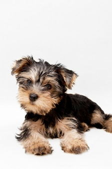 Vista frontale dell'affascinante cucciolo di yorkshire terrier con copia spazio
