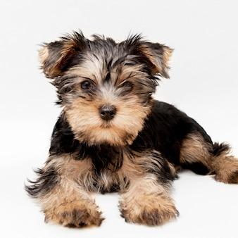 Vista frontale dell'affascinante cucciolo di yorkshire terrier