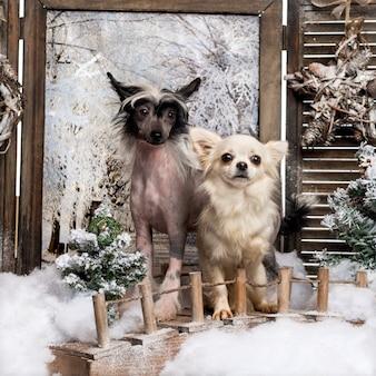 Vista frontale di un cucciolo di cane crestato cinese e chihuahua in piedi su un ponte, in uno scenario invernale