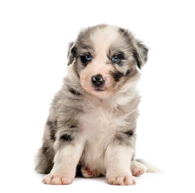 Vista frontale di un cucciolo di incrocio seduto isolato su bianco