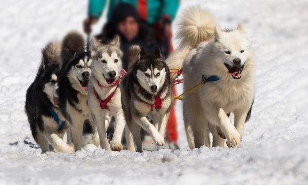 Vista frontale della corsa di cani da slitta con husky e imbracatura di traino samoiedo