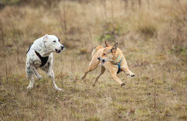 Vista frontale dei cani che corrono sul campo