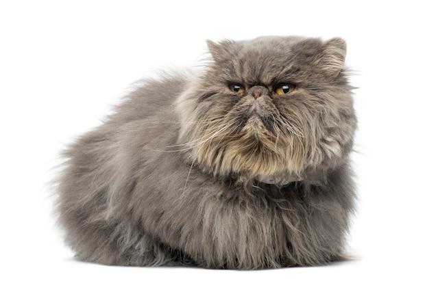 Vista frontale di un gatto persiano scontroso sdraiato isolato su bianco
