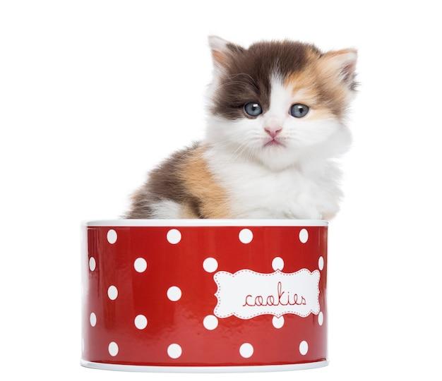 Vista frontale di un gattino diritto dell'altopiano in un contenitore di biscotto isolato su bianco