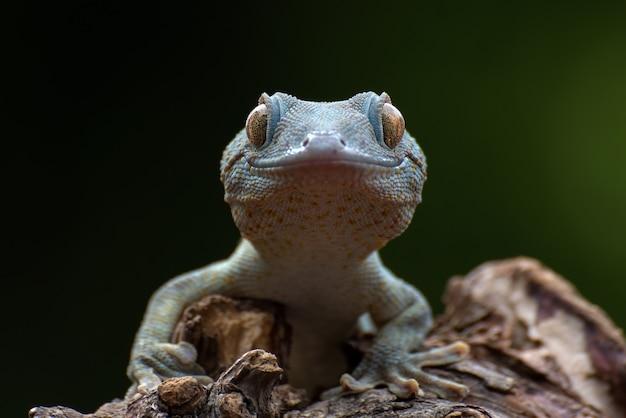 Aspetto di vista frontale di un geco tokay