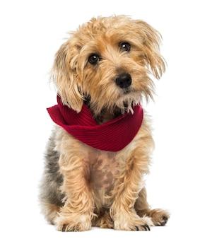 Vista frontale di una seduta di lucas terrier che indossa una sciarpa isolata su bianco