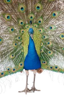 Vista frontale del pavone indiano maschio che visualizza le piume di coda