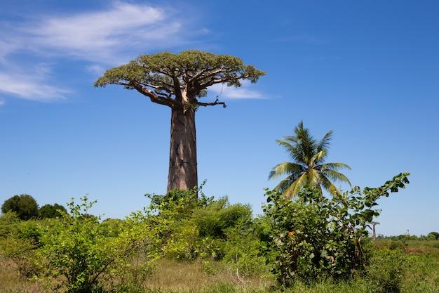 Vista frontale di baobab particolarmente grande