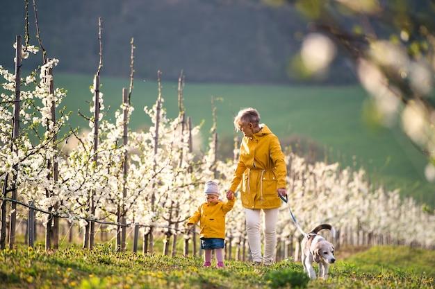 Vista frontale della nonna anziana con la nipote con un cane che cammina nel frutteto in primavera.