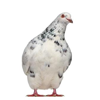 Vista frontale di un interrogatorio di piccione texano isolato su bianco