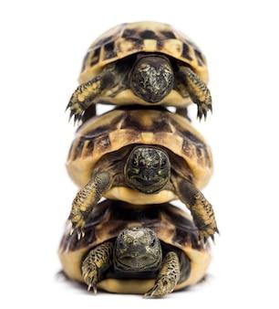 Vista frontale di tre tartarughe di hermann bambino ammucchiati, testudo hermanni, isolato su bianco