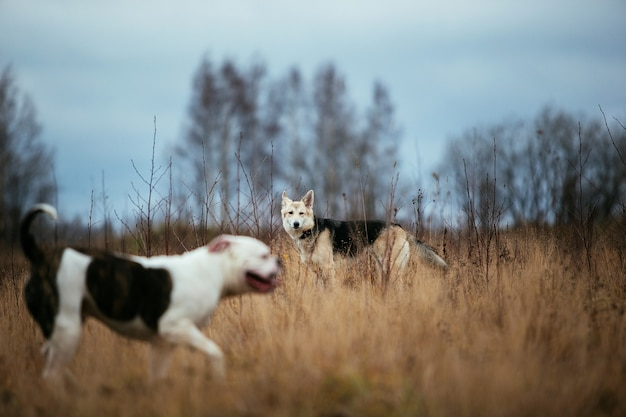 Vista frontale a due cani di grossa taglia che si conoscono al campo autunnale