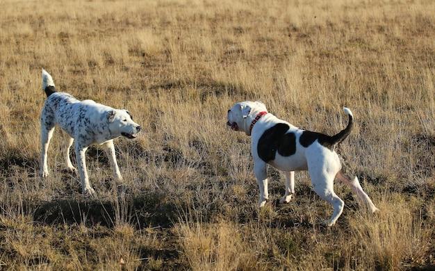 Vista frontale a due grandi cani bianchi che si conoscono al campo di autunno