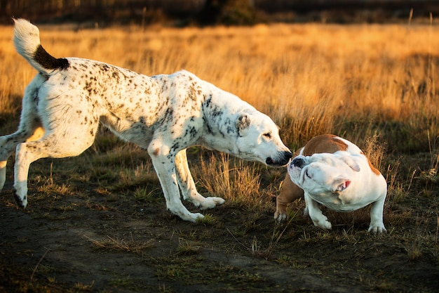 Vista frontale a due cani carismatici felici che camminano al campo di autunno al crepuscolo