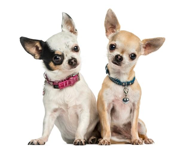 Vista frontale di due chihuahua che indossa collari seduta isolata su bianco