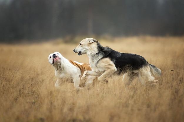 Vista frontale a due cani che corrono in un campo. il cane da pastore di razza mista grigia morde il bulldog inglese