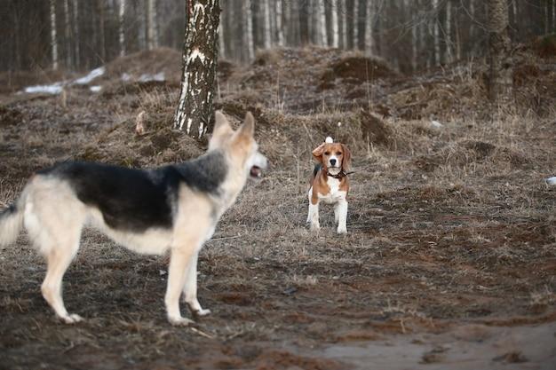 Vista frontale due cani husky e beagle in piedi che giocano e corrono l'un l'altro su un campo al crepuscolo