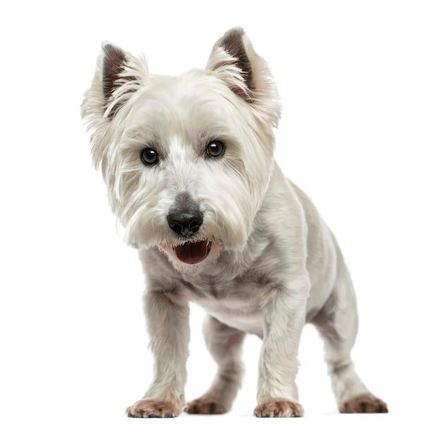 Vista frontale di un west highland white terrier isolato su bianco