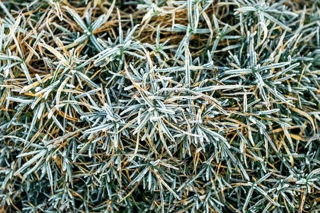 Erba verde coperta di brina, vista dall'alto. sfondo invernale