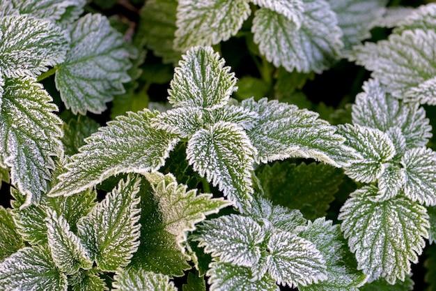 Foglie di ortica verdi ricoperte di brina, le prime gelate in autunno