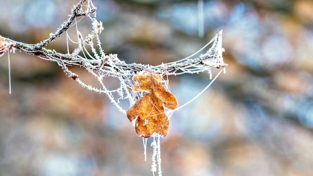 Foglia di quercia coperta di brina con ragnatele su un albero