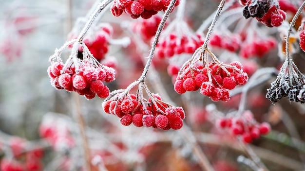 Bacche rosse di viburno ricoperte di brina in una gelida giornata invernale