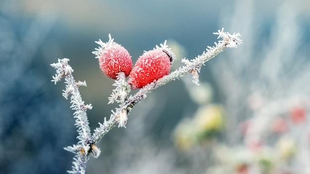 Bacche di rosa rossa ricoperte di brina