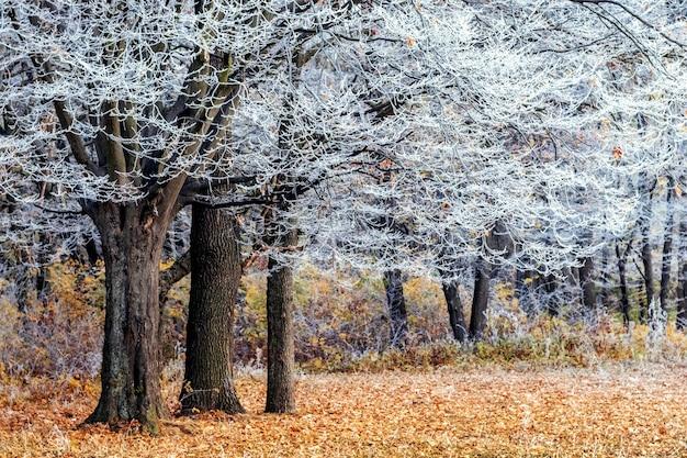 Alberi coperti di brina nella foresta, foglie cadute a terra
