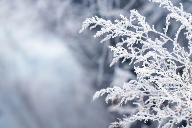 Ramo bianco coperto di brina di una pianta secca su uno sfondo sfocato in inverno. vista invernale