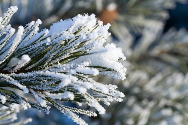 Gelo sugli aghi di pino dopo un gelo notturno, foto del primo piano