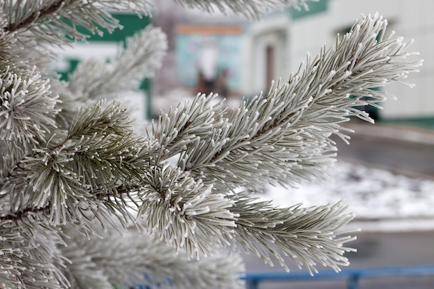 Gelo sul ramo di pino