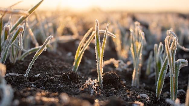 Gelo gelido in primavera nei campi con grano invernale. il forte gelo danneggia i raccolti in primavera.