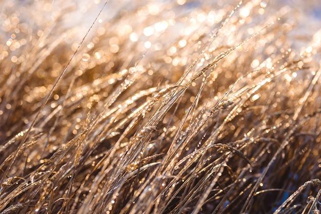 Belle piante congelate ricoperte di ghiaccioli alla luce del sole. sfondo invernale. messa a fuoco selettiva. profondità di campo.