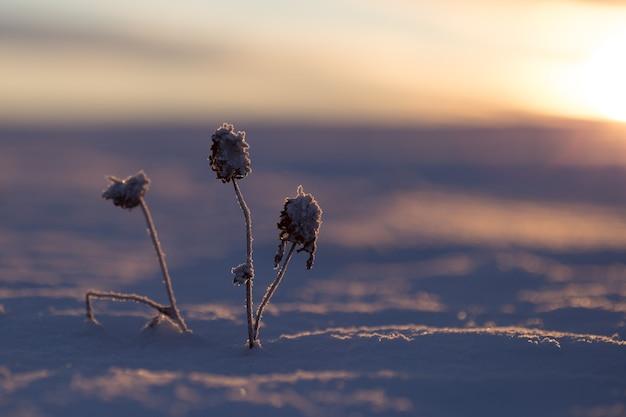 Trifoglio congelato nel freddo inverno