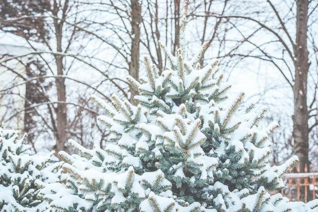 Rami di conifere congelati in inverno bianco