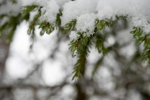 Una goccia d'acqua ghiacciata è appesa a un ramo innevato di un albero di natale. messa a fuoco selettiva